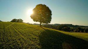 freistehender Laubbaum in der Natur