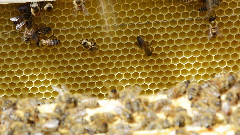 Nahaufnahme von Bienenwaben mit Bienen bei TEAM 7 Pram.